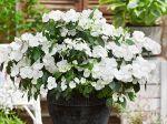 Hortensia «Runaway Bride», une floraison originale