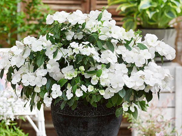 Hortensia «Runaway Bride» : une floraison originale pour de multiples utilisations