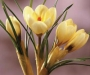 Le Crocus chrysanthus � Cream Beauty � �lu bulbe � fleurs du printemps 2008 !