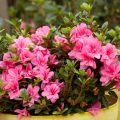 Azalées ENCORE, des fleurs 2 à 3 fois par an