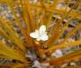 Iris de Nouvelle Z�lande Globe Planter - Goldfinger - Lumineuse toute l'ann�e