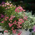 Nouveauté, le mini-rosier Lilly Rose wonder 5® Aya n°5