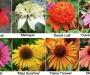 De nouvelles Echinacea au Jardin du Pic Vert