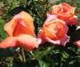 R�sultats de la 46�me �dition du Concours International de Roses Remontantes