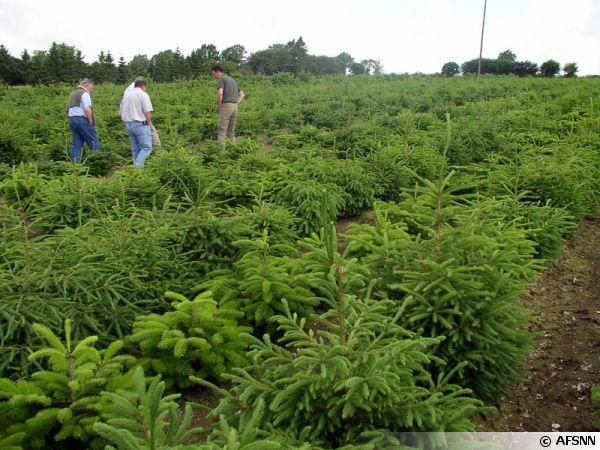 Plantations de sapins en France