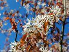 Amélanchier à feuilles rondes, Amélanchier commun,  Amelanchier ovalis