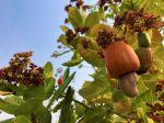 Noix de cajou, Anacardier, Anacardium occidentale