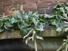 Boussingaultie à feuilles cordées, Vigne de Madère, Anredera cordifolia