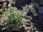 Génépi noir, Génépibleu, Génépi mâle, Génépi vrai, Artemisia genepi
