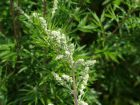 Armoise commune, Armoise citronnelle, Artemisia vulgaris