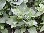 Arroche des jardins, Epinard géant, Faux épinard, Atriplex hortensis