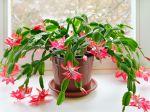 Comment donner de l'engrais au cactus de noël, cactus de pâques ou au cactus orchidée?
