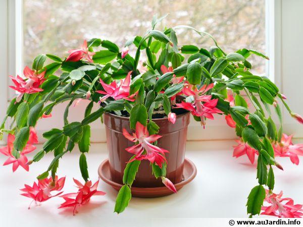 Un cactus de Noël en pot