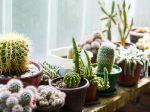 Comment et quand donner de l'engrais aux cactus?