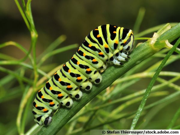 La chenille du papillon machaon apprécie le fenouil