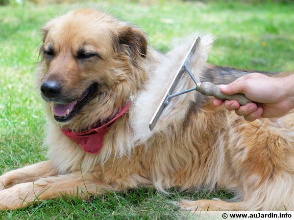 Brossez votre chien pour ramasser les poils lors de la mue