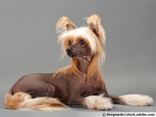 Des chiens sans poils