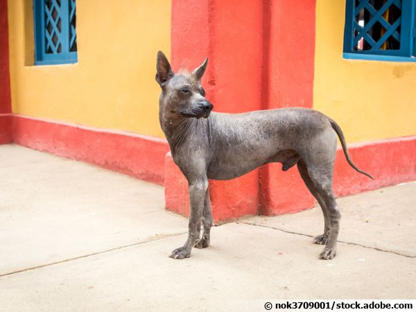 Le chien nu du Pérou