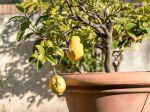 Quelle exposition pour un citronnier en pot?