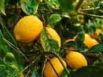 Citronnier Meyer, Citrus x meyeri