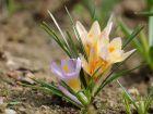 Crocus doré, Crocus chrysanthus