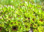 Echévéria petit agave, Echeveria agavoides