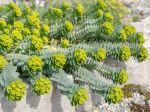Euphorbe de Corse, Euphorbia myrsinites