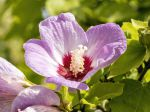 Hibiscus en arbre de Chine, Hibiscus de jardin, Hibiscus sinosyriacus
