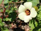 Hibiscus d'Afrique, Ketmie d'Afrique, Fleur d'une heure, Hibiscus trionum
