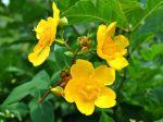 Hypericum Hidcote, Millepertuis arbustif, Millepertuis doré, Hypericum patulum 'Hidcote'