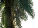 Cocotier du Chili, Jubaea chilensis