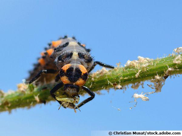La larve de coccinelle, une dévoreuse de pucerons