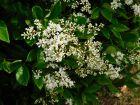 Troène du Japon, Ligustrum japonicum