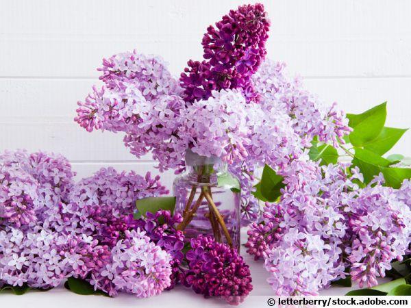 Questions fréquentes sur le lilas