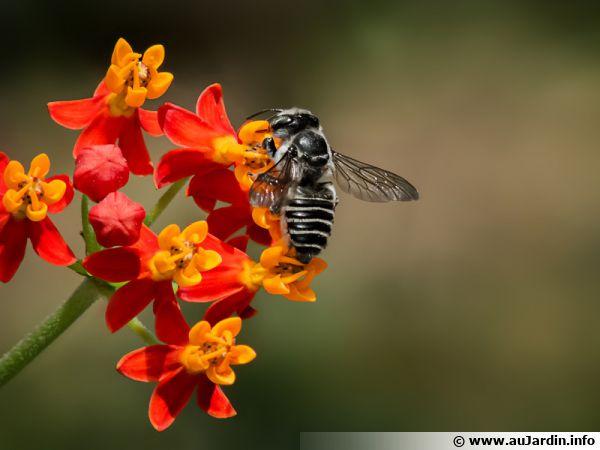 Megachile rotundata plus connue sous le nom d'abeille tapissière