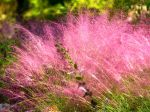 Muhly à poils longs, Muhlenbergie capillaire herbe, Muhly rose, Herbe à cheveux rose, Muhlenbergia capillaris
