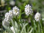 Muscari aucheri aux fleurs blanches