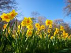Narcisse trompette, Jonquille trompette, Narcissus pseudonarcissus