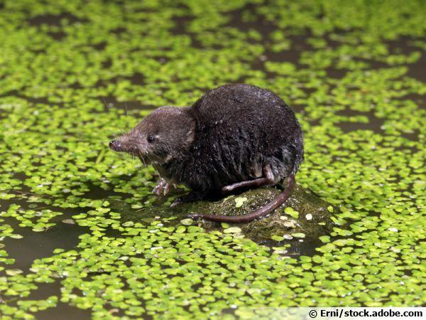 La musaraigne aquatique, une souris dans la mare