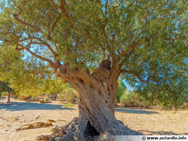 Un olivier centenaire...
