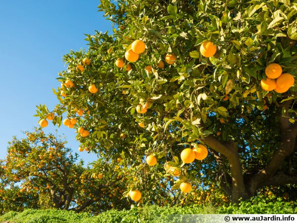 Champ d'orangers