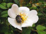 La cétoine funeste, un coléoptère qui apprécie les fleurs