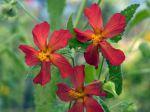 Hibiscus d'Argentine, Pavonia missionum
