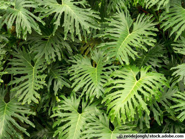 Philodendron de Sellow, Selloum, Philodendron en arbre, Philodendron bipinnatifidum