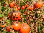 Les maladies cryptogamiques de la tomate