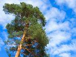 Pin sylvestre, Pin d'Écosse, Pin du nord, Pinus sylvestris