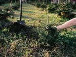 Comment planter son sapin de Noëldans le jardin ?