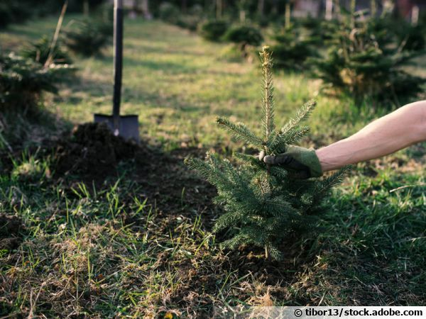 Plantation d'un jeune sapin au jardin