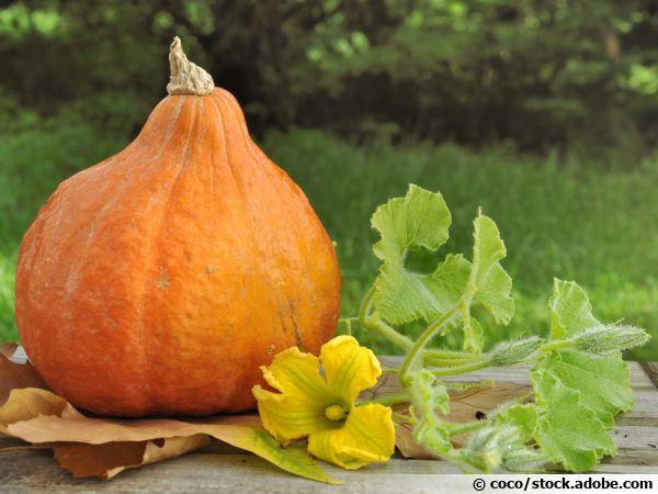 Un potimarron récolté et sa fleur