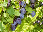 Prunier quetsche, Quetschier, Prunus domestica